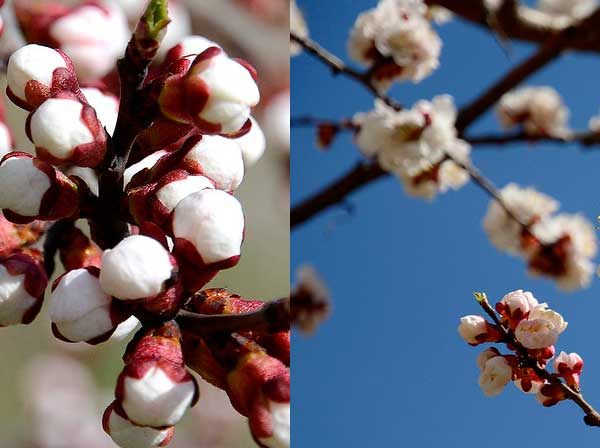 Как вырастить абрикос в умеренном климате?